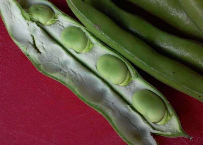 Favas in shell