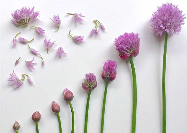 Chive Blossom Progression