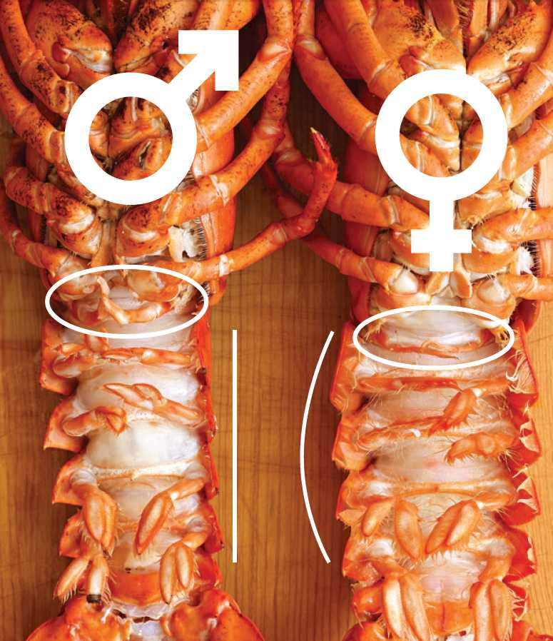How To Tell If A Lobster Is Male Or Female  Allrecipes-6696